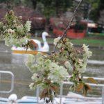 江戸人は「立春」から数えて桜の見ごろチェック。毎春、案外当たってもいて…と思ったら、もう早々と八重「鬱金桜」咲く(◎_◎;)!!/旧暦3/8・己卯