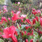 二十四節気は「穀雨」に。春の雨が潤した大地に穀物の芽生え…と暦が言えば、東京では初夏花・つつじの季節です。/旧暦3/16・丁亥