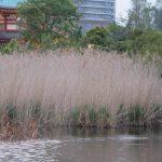 七十二候は「葭始生」に。いよいよ水辺の春だと暦は言って、確かに蓮も葭も芽生えを確認(*'▽')。/旧暦3/18・己丑