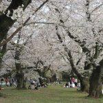 東京の染井吉野は驚異的な長さで咲いて、今年は、間に合いましたっ!小石川植物園の美しすぎる桜並木🌸/旧暦3/6・丁丑