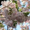 東京では染井吉野もほぼほぼ散って、桜リレーは八重へ。ってことで「上野桜図鑑 Ⅲ」行ってみまぁ~す🌸/旧暦3/9・庚辰