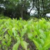 今日は、「八十八夜」。立春から数えて、もう88日目。都会のお茶畑にもいい感じで若葉が出てます。/旧暦3/28・己亥