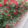 道々に、蜜度高くバラの花。ご近所の庭から顔出すバラ、庭の囲いやアーチの入口そのものがバラ…と楽しい🌹/旧暦4/15・丙辰