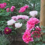 七十二候は「牡丹華」に。東京でも暦どおり、今年も、各庭園、公園、ぼたん苑にて華やかに咲く(*'▽')。/旧暦3/27・戊戌