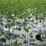 """いよいよ、蓮池も美しき若葉。こうなると、用もないのに不忍池経由で上野とか湯島とか。寄り道""""蓮""""観察の日々到来。/旧暦4/13・甲寅"""
