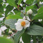 梅雨入りは、晩春の終わりにして夏の始まり。だからこの時期咲くこの白い椿は「夏椿」という名なんだなぁ~としみじみ(*'▽')。/旧暦5/11・辛巳