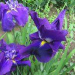 七十二候は「菖蒲華」に。ならば重い腰上げて「花菖蒲」見に行くか!咲いてるか微妙だけど(-_-;)。ちなみに福島は暦どおりだそうです。/旧暦5/6・庚子