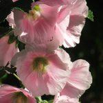 暦の上では、今日「入梅」。関東地方は、数日前にリアル梅雨入り。梅雨告げ花=立葵も、名実ともに梅雨に入って、いっそう元気です。/旧暦5/9・己卯