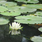 「夏の七草」は何故ないの?と思ったら3種類もあったみたい(◎_◎;)! 今年はそれを踏襲しつつ探す「夏の水辺の七草」いってみます(*'▽')。/旧暦5/18・戊子