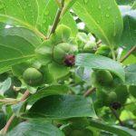 見上げれば、柿の実も小さく実る。こちらはりんごより一足早く秋までの楽しみ(*'▽')。/旧暦5/23・癸巳