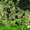 関東甲信越上空「梅雨前線」停滞中。季節は「梅雨」に入って、この花ももちろん元気に咲いております。/旧暦5/8・戊寅