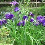 七十二候は「菖蒲華」に。東京では文目はもちろん花菖蒲も花の頃を終え、暦通りなのは東北の母の庭。/旧暦5/26・丙申