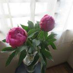 紫陽花買いに花屋に行って、ハッと気づけば手には「芍薬」。そろそろ旬も終わりだし、紫陽花はまた今度。/旧暦5/6・丙子