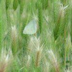 二十四節気は「芒種」に。と聞けば、野草・雑草ワールドではイネ科の草々が続々と。今年は「麦草」に遭遇!/旧暦5/4・甲戌