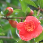 梅雨空のほうが似合いの赤。柘榴(ざくろ)の実りとは似ても似つかない軽やかな赤い花咲いています(*'▽')。/旧暦5/13・癸未