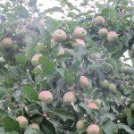そー言えば、古い暦が「乃東枯」と言い出すころは、りんごも実り始めの時ですね。「枯」とか言ってささやかな期待を孕んだ日々。/旧暦5/22・壬辰