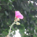 「梅雨葵」こと「立葵」はてっぺんまで咲いて、紫陽花もいい感じに色あせて。…となるとそろそろ梅雨明か?天気予報はまだまだ傘マーク続きですが☔/旧暦6/14・甲寅