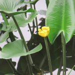 「夏の水辺の七草」5つ目も、同じく皇居東御苑の二の丸庭園の池にて。名前はごつい「河骨」ですが、やっぱ黄色くて可愛い…と思う。/旧暦6/3・癸卯