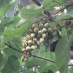 七十二候は「桐始結花」に。今年やっと桐の樹と遭遇、暦どおりに実がなっておりました(*'▽')。/7/24=旧6/22・壬戌