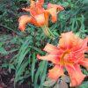あちこちで目立つユリの花。ああ、梅雨空だけど、植物界は夏なんだよねぇ~(*'▽')。/旧暦6/15・乙卯・満月