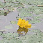 雨の日続きの梅雨の日々。しかし、水辺の草々は元気です。「夏の水辺の七草」4つ目はこの黄色い花。/旧暦6/2・壬寅