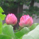 七十二候は「蓮始開」に。蓮の開花は、例年、古い暦どおり。梅雨寒の日々でも、不忍池の蓮はちゃんと開花しておりますよ~(*'▽')。/旧暦6/10・庚戌