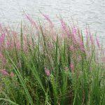 「盆花」&「精霊花」こと「禊萩(みそはぎ)」。今年は咲かないのかなぁと思っていたが、旧盆近くなってやっと咲く。/旧暦7/5・甲戌