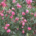 東京にもやっと「夾竹桃」咲く。開花が遅くても「広島原爆忌」には絶対に見ごろ。ヒトは広島の花たる「夾竹桃」の矜持を勝手に思う。/旧暦7/6・乙亥