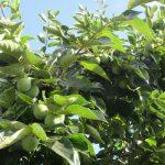 今日は「長崎原爆忌」。その日、被爆した柿の木の二世。我がご近所で今年もずいぶんたわわに実りました。/旧暦7/9・戊寅