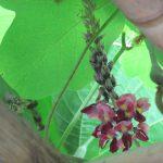 引き続き「秋の七草」。3つ目は「葛花」…普段なら今頃咲いてるはずなんですが…ない😢。/旧暦8/2・庚子