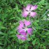 「秋の七草」、2つ目は「櫻麦(なでしこ)」。とはいえ、実はもう咲いてないもんで、「秋草」なのに「夏」の思い出の草😓/旧暦8/1・己亥・新月!