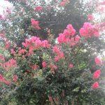今年は、咲き始めが遅かった「百日紅」。いつもと、ひと月遅れで今が最盛!それでも名の通り100日咲くか?咲かないか?/旧暦8/6・甲辰