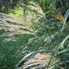 「秋の七草」まだまだ探してます。5つ目は「尾花」。っていってもまだ、咲き始め。尻尾のようになるのはちょっと先です(*'▽')。/旧暦8/7・乙巳