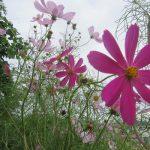 東北なら咲いてる?いや、この町も今年は「彼岸花」遅し。代わりにと言っては何ですが「秋桜(こすもす)」だらけです。/旧暦8/24・壬戌