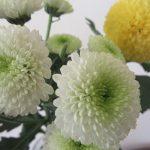 今日は「重陽の節句」。「五節句」の締めの重要な節句…ですが、毎年残暑のどさくさで過ゆく感じ。せめて可愛い菊を飾ろう!/旧暦8/11・己酉
