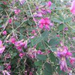ちょっと空きましたが「秋の七草」。6つ目の「萩」がやっと咲きました。/旧暦8/17・乙卯