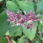 ああ、君にもやっと会えたねぇ杜鵑草(ほととぎす)!。今年も紫のドットがステキです(*'▽')。/旧暦10/6・癸卯