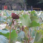 七十二候は「霜始降」に。霜は降らねど、不忍池の蓮眺め⇒蓮根を買う日々です…もちろん個人的に(*'▽')。/旧暦9/27・乙未