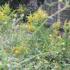 二十四節気は「霜降」に。となるとあの花咲いてるかな?いたいたっ!「背高泡立草」久しぶりっ(*'▽')/旧暦9/26・甲午