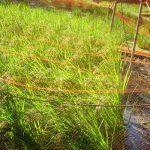 七十二候は「水始涸」に。暦がこう言いだすと田んぼは水を落として、稲刈りを待つ日々です。/旧暦9/5・甲戌