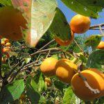 母の庭の柿の木は、今年も大量。渋とりしたり、干したりと、柿に楽しく振り回されてたり(*'▽')/旧暦10/8・乙巳