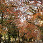 七十二候は「朔風払葉」に。東京あたりじゃ木枯らしもふかず、まだ美しい紅葉並木が健在だったりします(*'▽')/旧暦11/1・戊辰・新月!