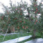 おおっ!今年も豊かな実り。りんごの産地・福島のフジもそろそろ収穫の時期ですね。ワクワク(*'▽')/旧暦10/10・丁未