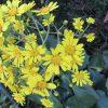 七十二候は「金盞香」に。暦の言う「きんせんか」は「水仙」のことで、もちろんまだ咲かず。代わりにこの花が満開です(*'▽')/旧暦10/22・己未