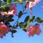 七十二候は「山茶始開」に。いよいよ冬告げ花咲く頃と暦。街には薄い色合いの山茶花が咲き出してます(*'▽')/旧暦10/13・庚戌