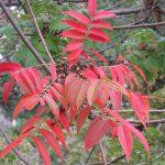 七十二候は「楓蔦黄」に。楓や蔦の色づきには出会えてませんが、紅葉・黄葉の時期到来(*'▽')/旧暦10/7・甲辰
