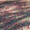七十二候は「地始凍」に。暦の言う「大地が凍り始める」頃の東京は、木の葉が地面を覆う日々のはじまりはじまり…です(*'▽')/旧暦10/18・乙卯