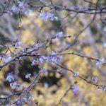 今年は長い気がする紅葉・黄葉の季節。美しいうち、いつものコラボも眺めに参る。冬桜と黄葉、そして紅葉。/旧暦11/19・丙戌