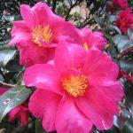 赤い山茶花が満開。七十二候「山茶始開」もいいけど、今頃に「山茶栄」とか「山茶笑」があるといいな(*'▽')/旧暦11/25・壬辰