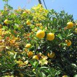 七十二候は「橘始黄」に。暦とリアルが、ぴったりこないのがふつうだけどこれだけは外れない。今年も冬空に柑橘実ってます!/旧暦11/6・癸酉